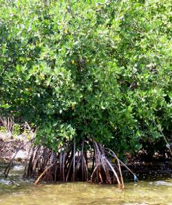 ecological importance of mangroves pdf